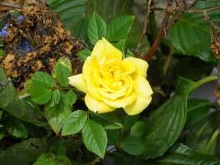 薔薇20100522.jpg